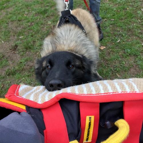 Manchette mordant de sport canin - PS15