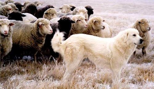 Dressage des chiens de troupeau